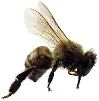 An image of a bee